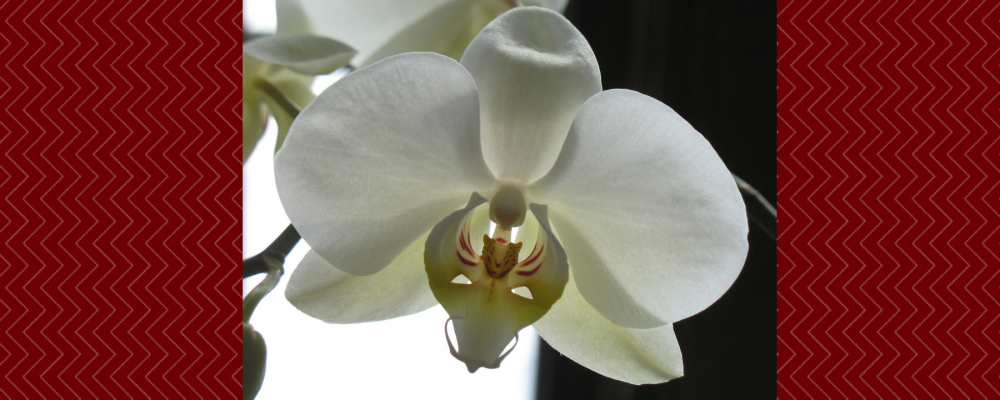 cropped-white-orchid-in-sunlight-32.png